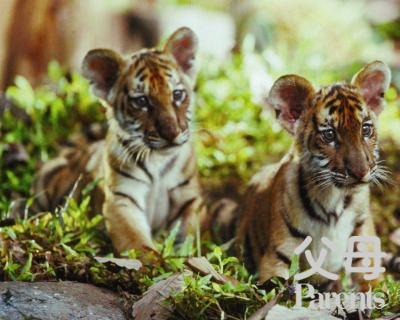 儿童歌曲 两只老虎