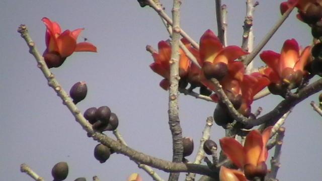 攀枝花又叫英雄树,木棉树